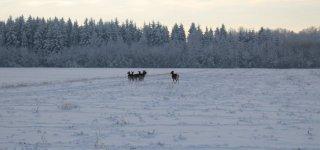Jurbarko rajone į medžioklės plotus paleisti danieliai