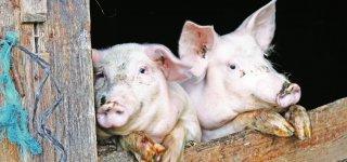Pagalba kiaulių laikytojams, įsigijusiems biologinio saugumo priemonių