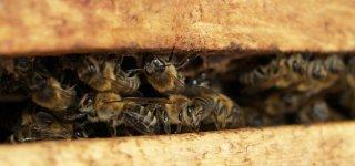 Renkamos paraiškos paramai bičių laikytojams