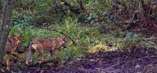 D. Kaminsko įrengtos kameros užfiksavo vilkus netoli ūkininko ganyklos
