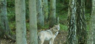 Per medžioklės sezoną leista sumedžioti 175 vilkus