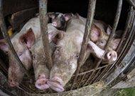 Dėl kiaulių maro Baltarusijoje - stiprinama kontrolė ir Jurbarko rajone