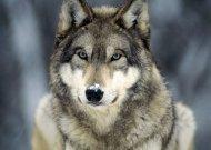 Vyksta savanorių registracija į vilkų ir lūšių apskaitą