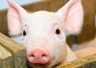 Informacija kiaulių laikytojams