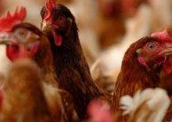 Paukščių gripo prevencijai - naminius paukščius reikės laikyti uždarytus