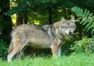 Apsaugai nuo vilkų – elektriniai aptvarai