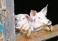 Kiaulių laikytojams bus kompensuojamos biologinio saugumo priemonių išlaidos