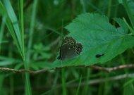 Šilinės botaniniame draustinyje pastebėtas retas drugys