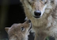 Kviečia pasinaudoti parama prevencinėms priemonėms, apsaugančioms ūkinius gyvūnus nuo vilkų, įsigyti