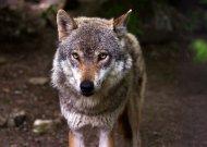 Nustatyta vilkų sumedžiojimo kvota